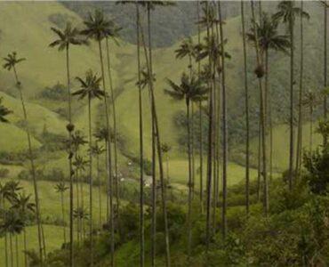 La Palma de Cera